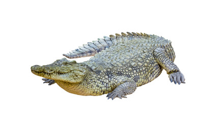 Nile crocodile isolated (Crocodylus niloticus)