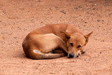sleeping feral dog 6548 poster