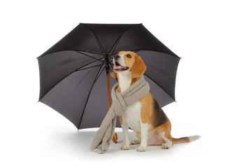 chien Beagle avec parapluie et écharpe