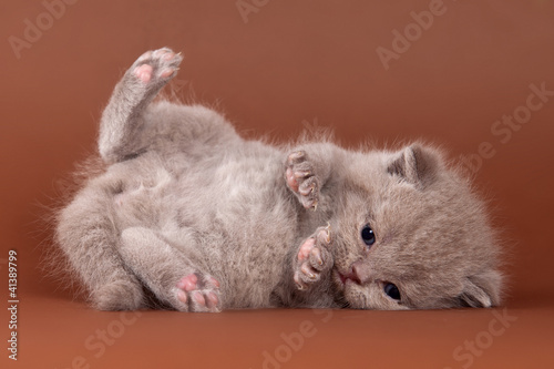 British kitten on brown background