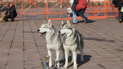 pair of Siberian huskies, close-up