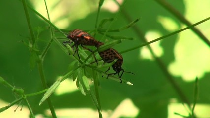 Two defenders Bedbug mate on a sheet in the woods