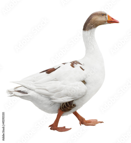 White goose isolated on white