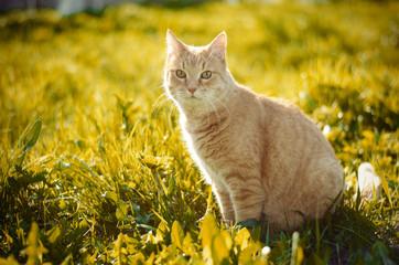 Рыжий кот на траве