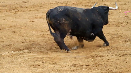 falling bull in the bullring. Powerful spanish bull