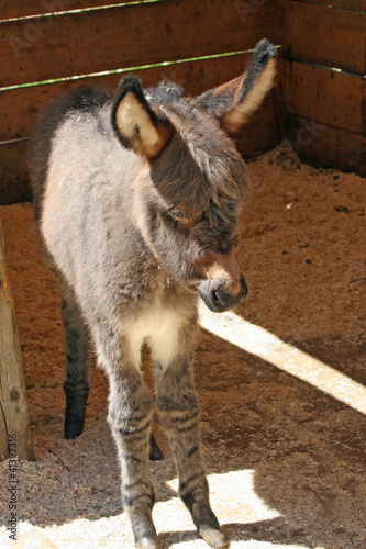 young donkey newborn standing in stall