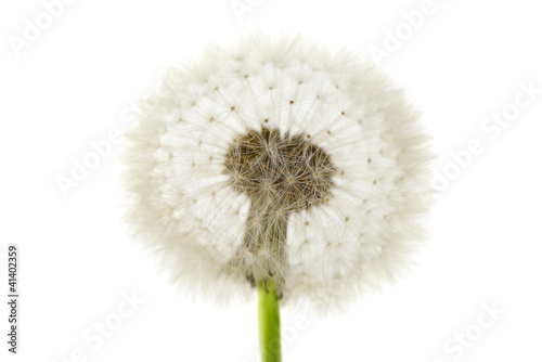 dandelion isolated on white background © Serghei Velusceac