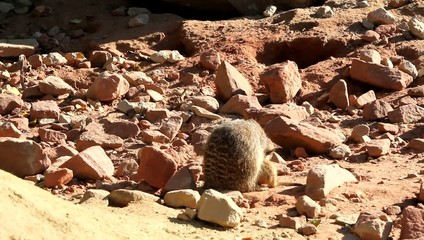 Maternité suricate