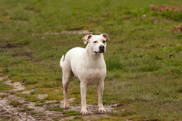 White dog, dirty and mud-splattered