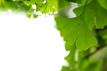 ginkgo leaf background