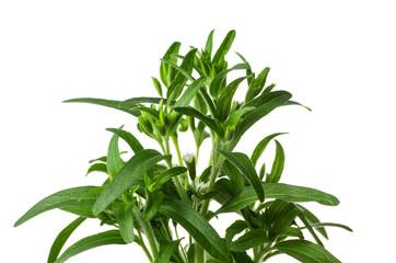 Steviapflanze.jpg