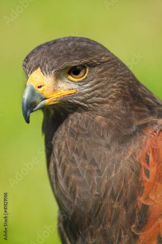Harris Hawk or Parabuteo unicinctus