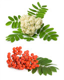 Rowan berry and flowers
