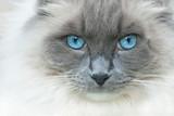 A cat named Elvis