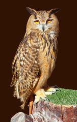 Bubo bubo eagle owl night bird