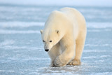 Fototapety Polar Bear walking on blue ice.