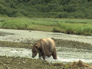 Großer Küstenbraunbär watet durch Fluß wildlife Katmai