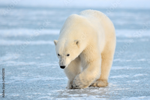 Fotobehang Ijsbeer Polar Bear walking on blue ice.