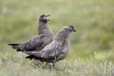 Pair of Arctic Skua courting