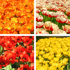 Tulip fields collage