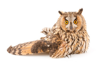 A bird with a broken wing (long-eared owl, Asio otus)