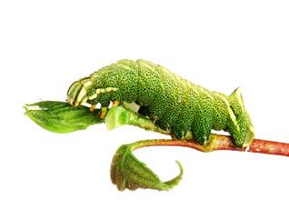 Caterpillar of the Kentish Glory (Endromis versicolora)