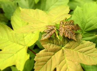 Frische Ahornblätter