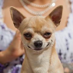 grinsender Chihuahua