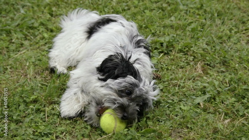 bichon havanese dog on grass with green tennis ball
