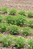 piante di patata su terreno poster