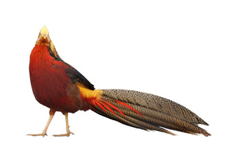Beautiful golden pheasant isolated on white