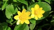 Spring blooms of yellow flowers primroses (Ficaria verna)