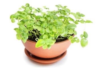 Basil  in ceramic pot