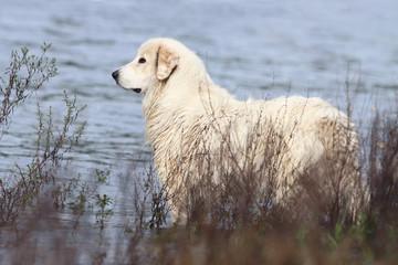 chien de Montagne des Pyrénées au bord de l'eau