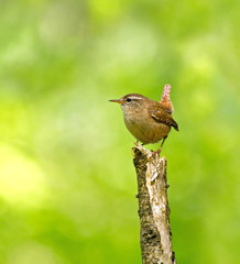 Winter Wren on Branch