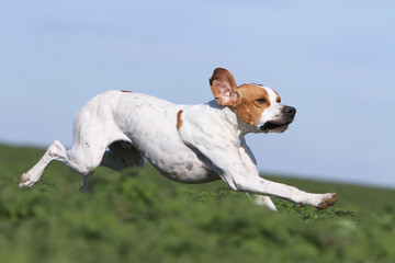 english pointer running on profile