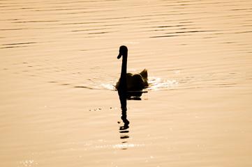 Mute Swan on Lanskie Lake, Masuria region in Poland