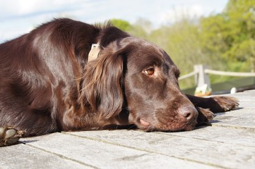 Relaxed Flat-coated Retriever