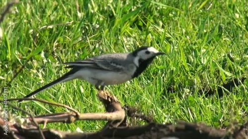 White Wagtail jumping on meadow