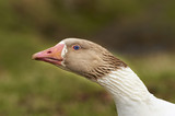 Adult goose with a defensive attitude