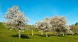 view of flowering cherry-trees