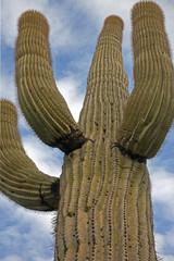 Saguaro-Kaktus bei Tucson Arizona USA
