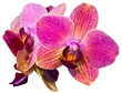pink orchid isolated on the white background