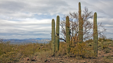 Saguaro-Nationalpark bei Tucson Arizona USA
