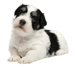 Cute lying little havanese puppy