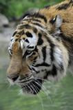 Tigre (profilo)