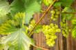Weißwein, Weintrauben, Wein, Weinanbau, Herbstfrüchte