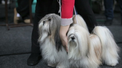 Two fluffy shaggy lap dog on a leash
