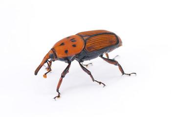 punteruolo  rosso insetto