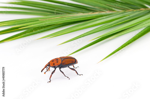 red palm weevil killer